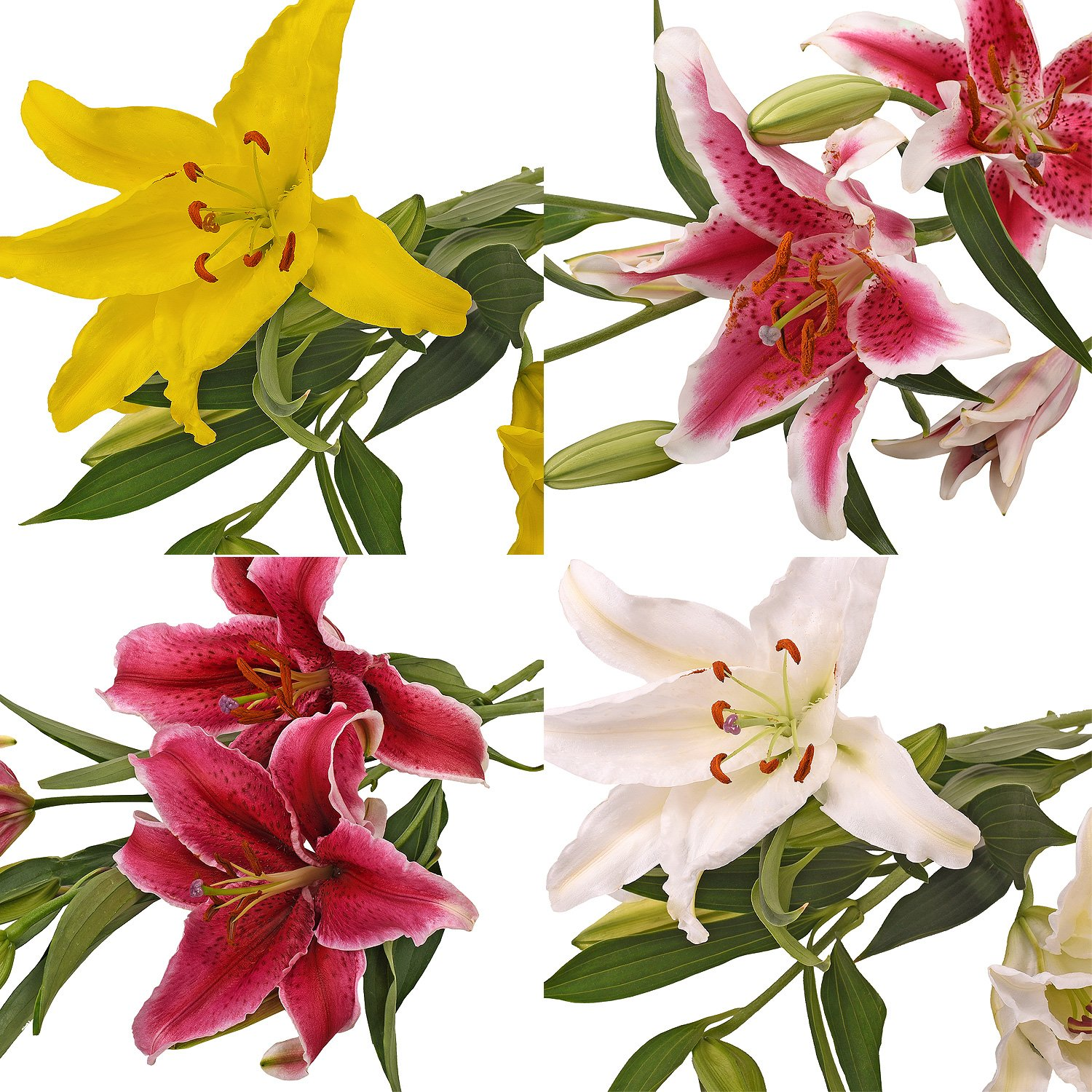 Farm Fresh Natural Assorted Oriental Lilies - 40 Stems