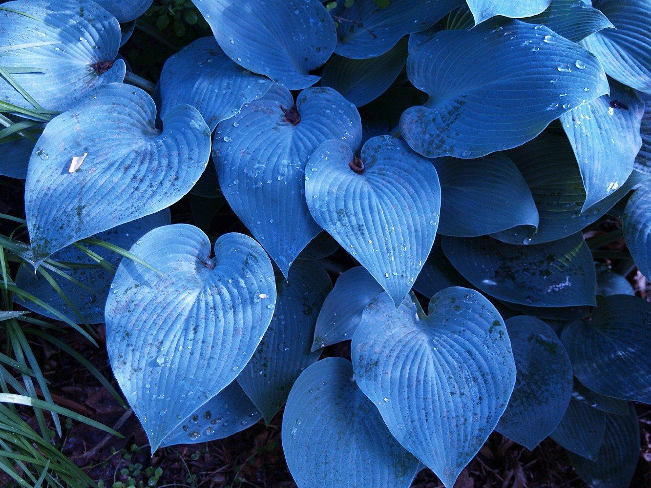 Halcyon Hosta - Gorgeous Medium Size Deep Green/Blue! - Live Plant - Quart Pot by Hirt's Gardens (Image #1)