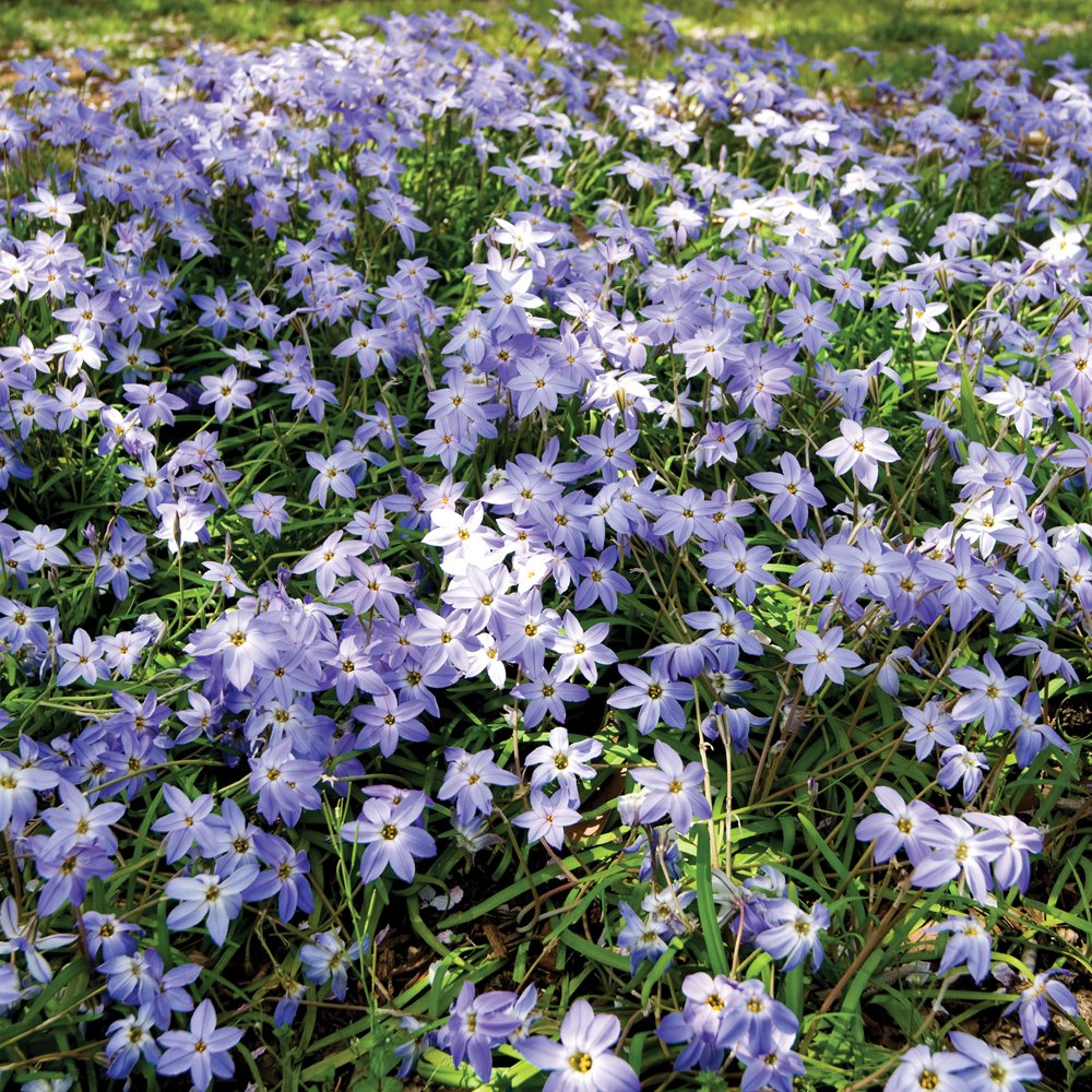 Ipheion Mixed Spring Flowering Starflower Bulbs Perfect For