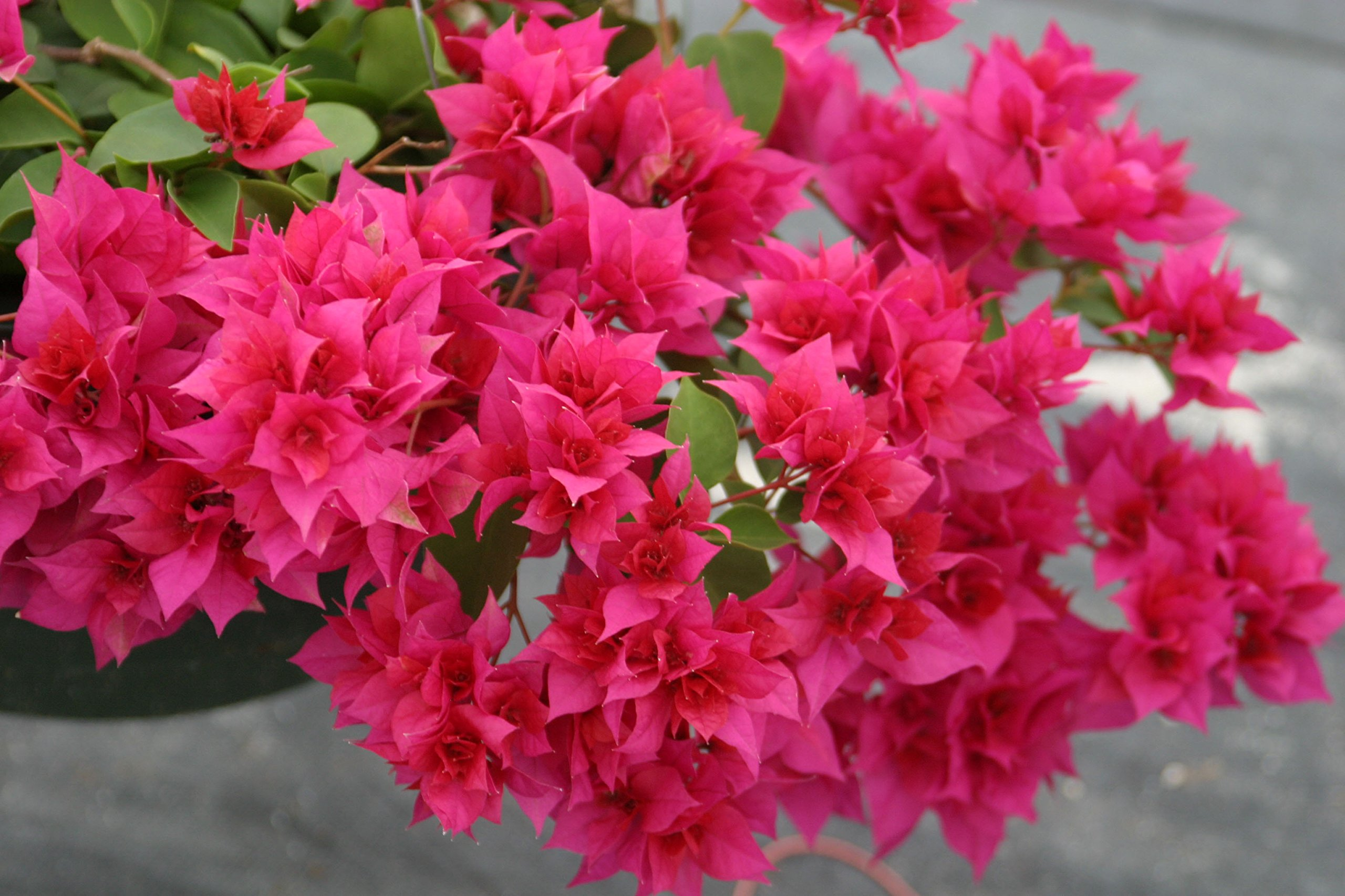 Two Live 4 Inch Bougainvillea''Double Red'' Deep Red Flower. 4 Plants, 2 per Pot.