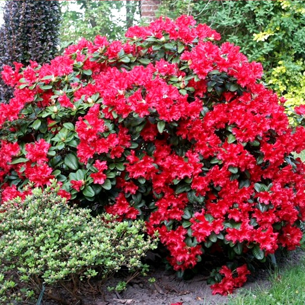 1 RHODODENDRON 'SCARLET WONDER' EVERGREEN BUSHY SHRUB HARDY GARDEN PLANT IN POT Gardener's Dream