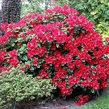 Rhododendron In Pot.1 Rhododendron Scarlet Wonder Evergreen Bushy Shrub Hardy Garden Plant In Pot