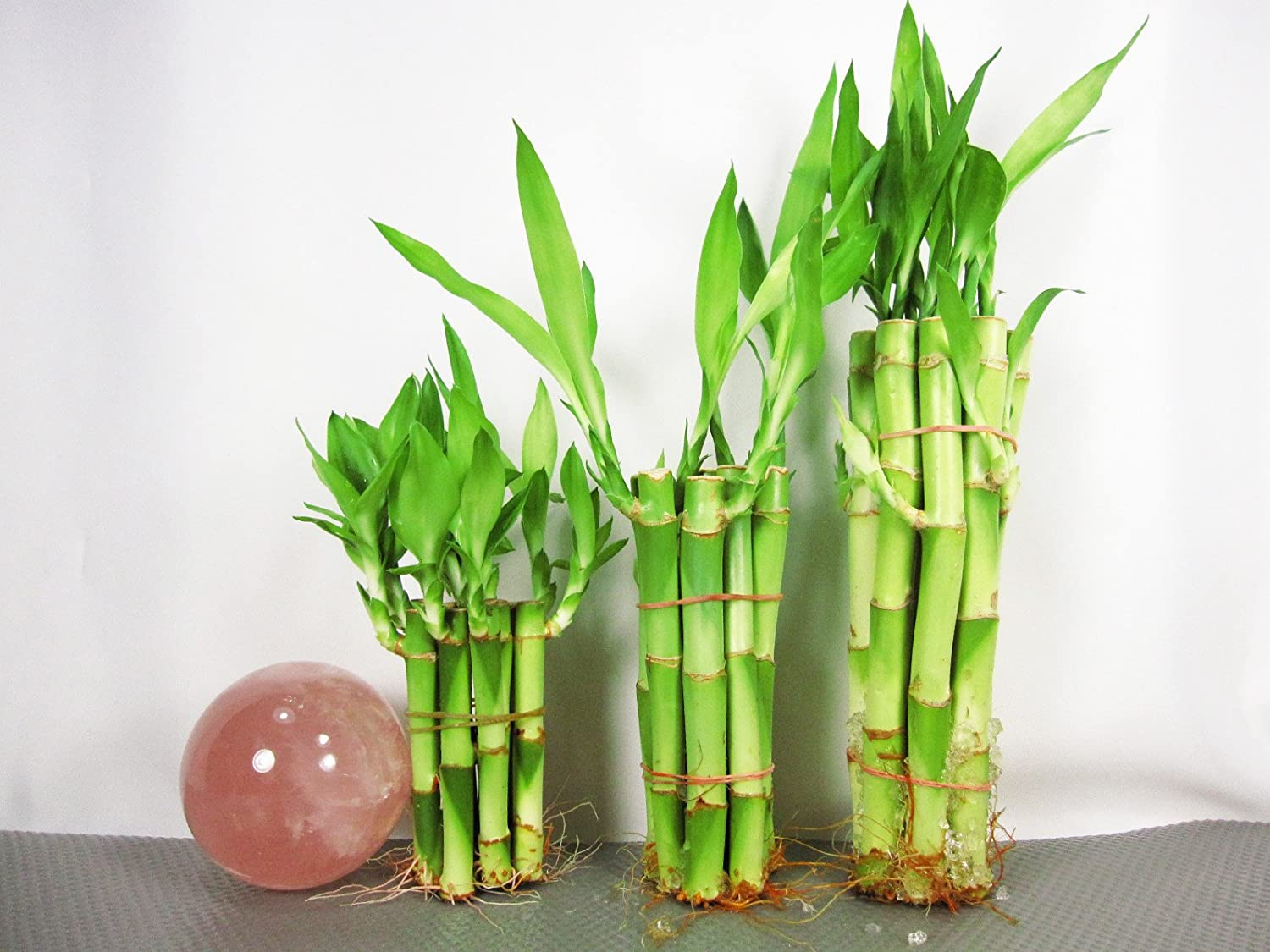 Amazon.com : 9GreenBox: Lucky Bamboo - Set 4\