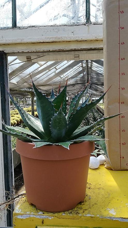 Agave montana in vaso diam 20 cm cactus