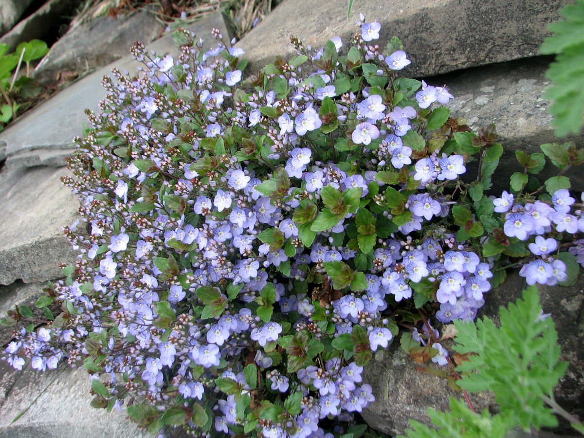 Picture of Live Speedwell aka Veronica 'Waterperry' Plant Fit 1 Gallon Pot