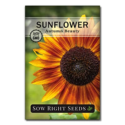 Sow Right Seeds - Autumn Beauty Sunflower Seeds for Planting, Beautiful Giant Flower to Plant, Non-GMO Heirloom Seed, Wonderful Gardening Gift (1) : Garden & Outdoor