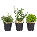 The Three Company Live Aromatic Combo Herb Assortment (Lemon Balm, Mint, Eucalyptus), 1 Pint Pot, Breathe Easier
