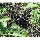 "York Elderberry Shrub - Sambucus - 2.5"" Pot - Largest Berries"