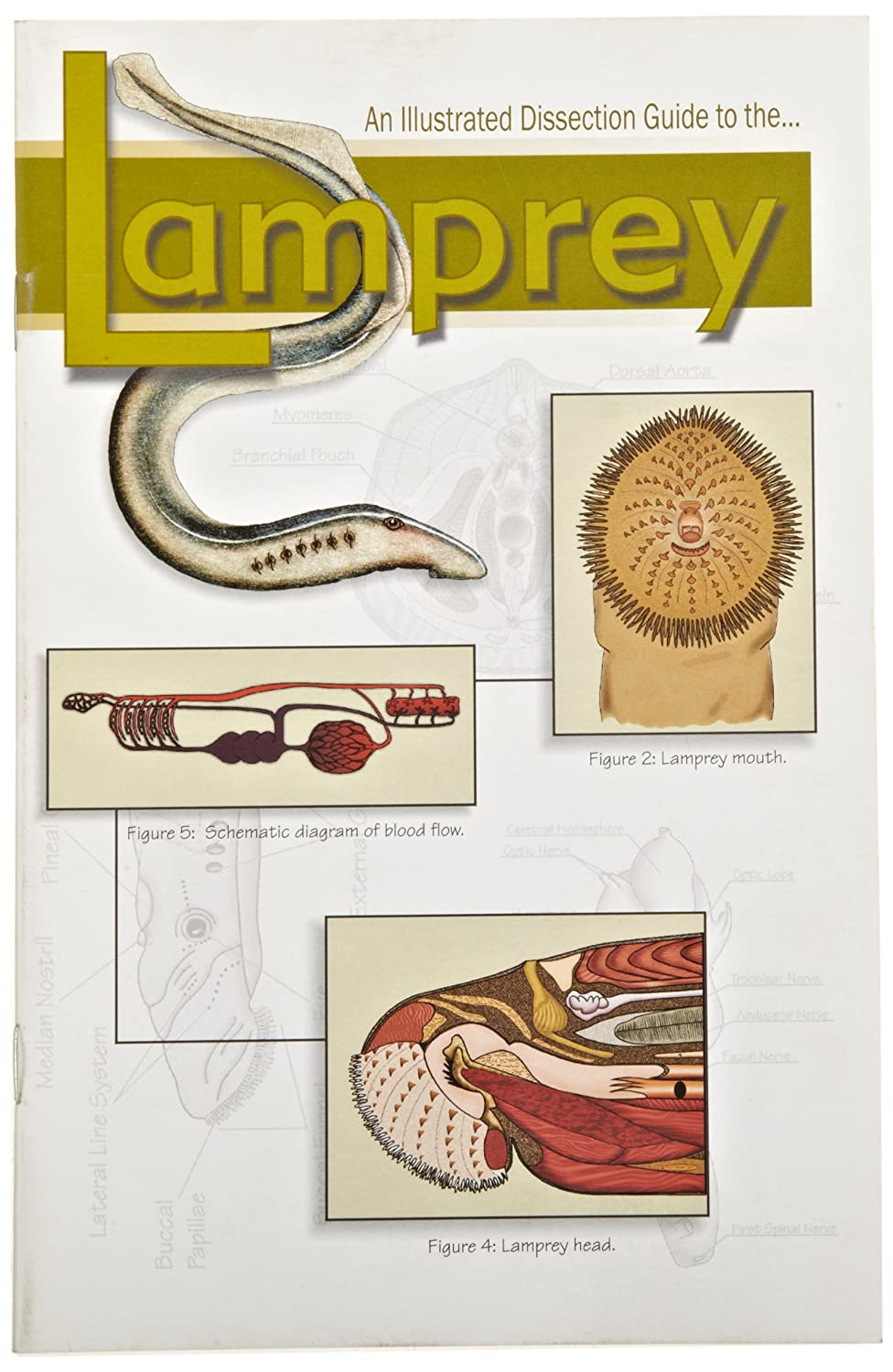 Amazon Frey Scientific 532248 Mini Guide To Lamprey Dissection
