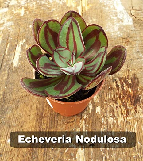 Amazon Com 2 Echeveria Nodulosa Painted Echeveria Succulent