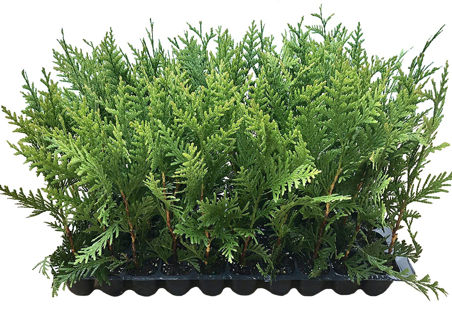 Thuja Green Giant Arborvitae - 10 Live Trees 2'' Pot Size - Evergreen Privacy Plants by Florida Foliage