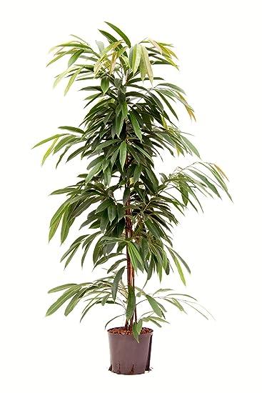 Zimmerpflanzen Für Schatten birkenfeige 150 cm in hydrokultur 22 19er kulturtopf pflegeleichte