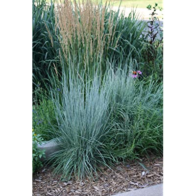 15, 000 Little BLUESTEM Grass Beardgrass Seeds USA Seller ornimental Native Grass : Garden & Outdoor