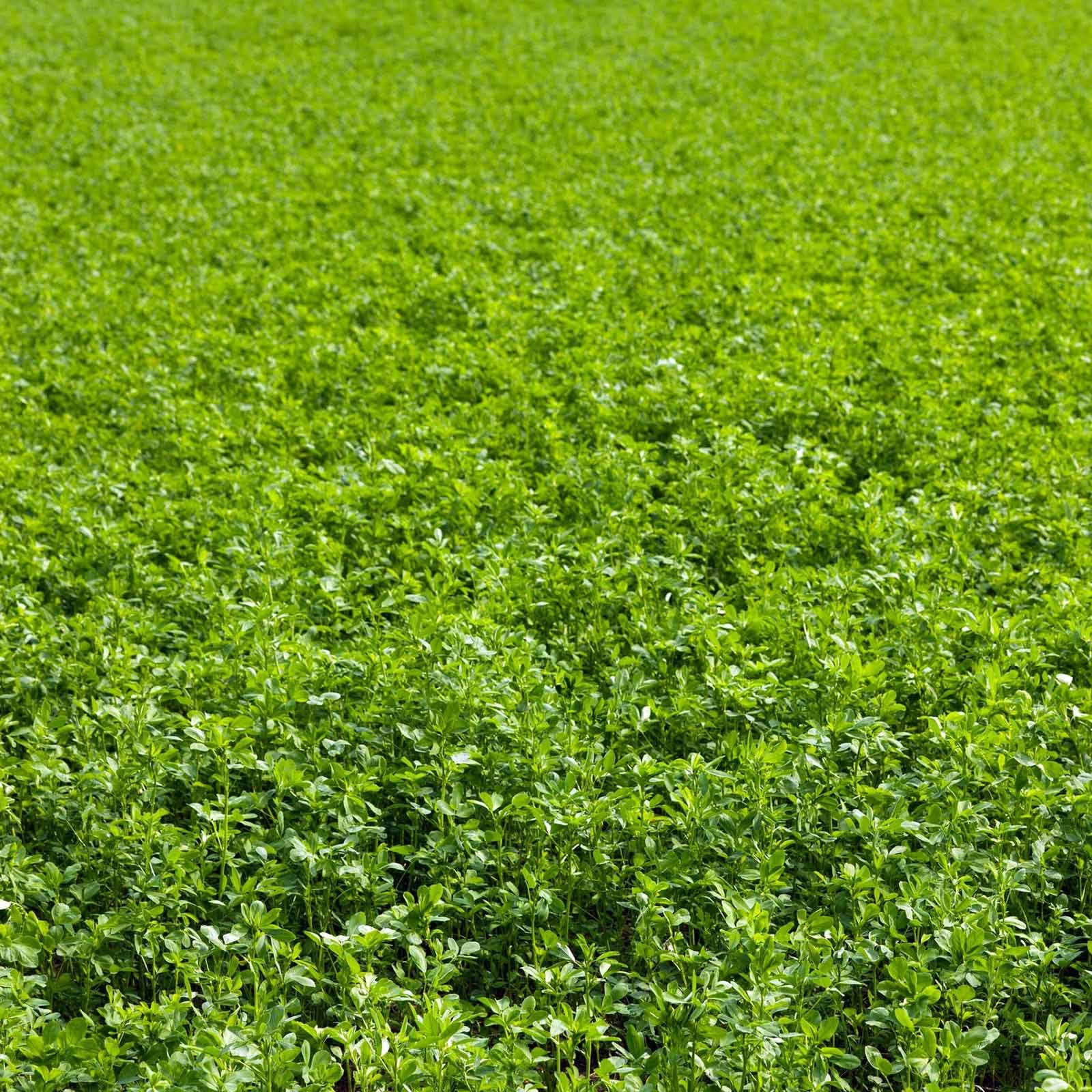 Non-GMO Alfalfa Seeds - 25 Lbs - High Germination, Conventional Seed - Gardening, Cover Crop, Field Growing, Food Storage & More by Mountain Valley Seed Company