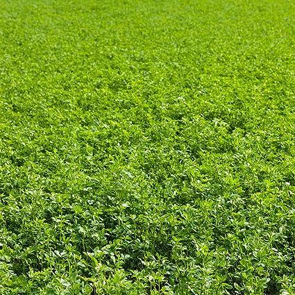 Amazon.com: Semillas Alfalfa sin OMG – alta germinación ...