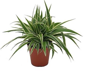 Grunlilie Chlorophytum Comosum Luftreinigende Zimmer Und