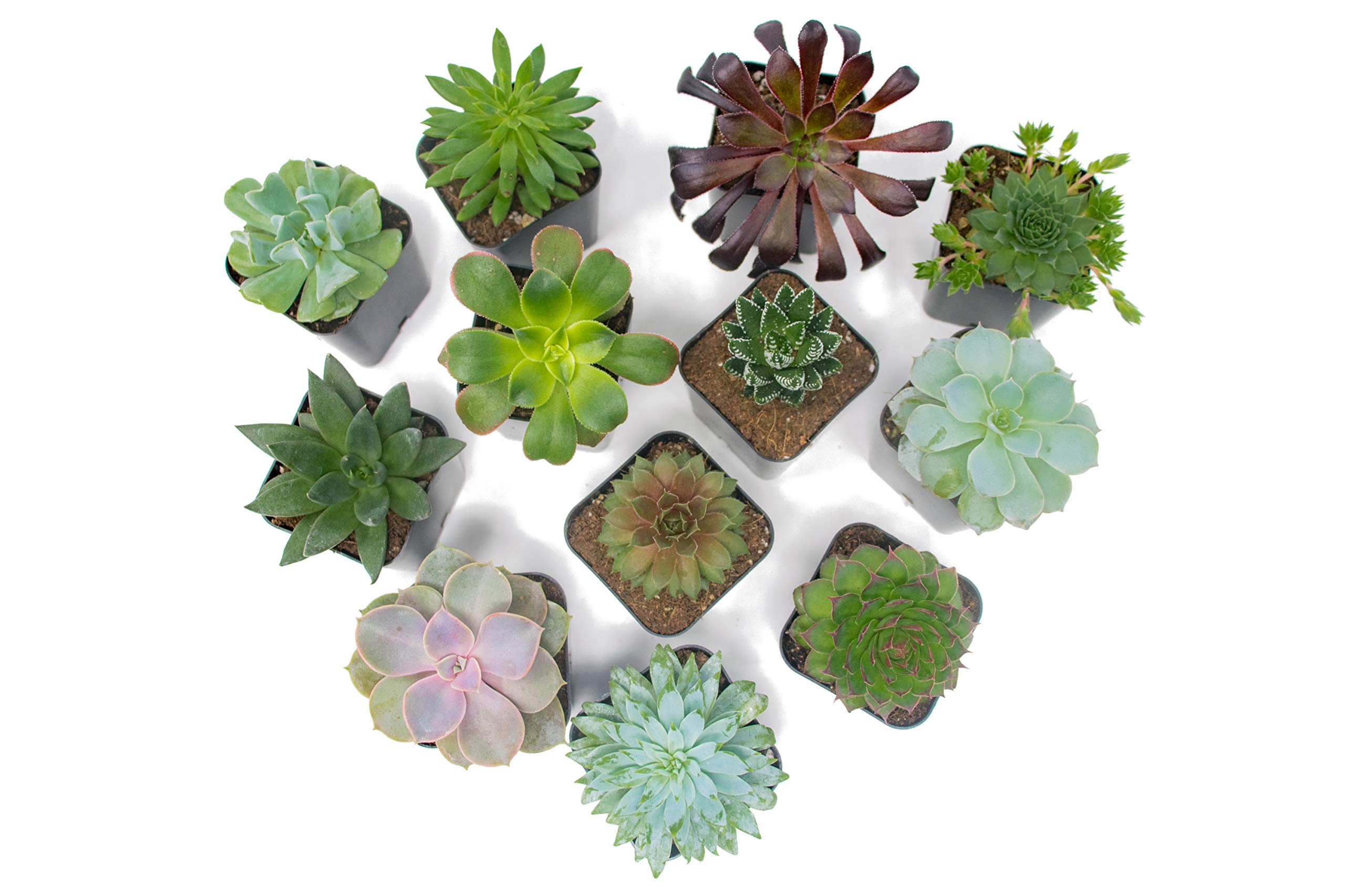Succulent Plants (5 Pack), Fully Rooted in Planter Pots with Soil -  Real Live Potted Succulents / Unique Indoor Cactus Decor by Plants for Pets 11 HAND SELECTED: Every pack of succulents we send is hand-picked. You will receive a unique collection of species that are FULLY ROOTED IN 2 INCH POTS, which will be similar to the product photos (see photo 2 for scale). Note that we rotate our nursery stock often, so the exact species we send changes every week. THE EASIEST HOUSE PLANTS: More appealing than artificial plastic or fake faux plants, and care is a cinch. If you think you can't keep houseplants alive, you're wrong; our succulents don't require fertilizer and can be planted in a decorative pot of your choice within seconds. DIY HOME DECOR: The possibilities are only limited by your imagination; display them in a plant holder, a wall mount, a geometric glass vase, or even in a live wreath. Because of their amazingly low care requirements, they can even make the perfect desk centerpiece for your office.