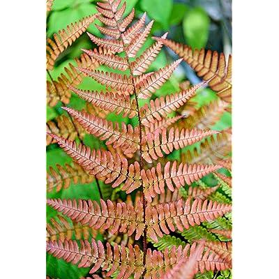 Autumn Fern 1000 Spores (Seeds) DRYOPTERIS ERYTHROSORA, Hardy Fern, USA Seller : Garden & Outdoor