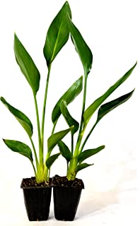 Amazon 9greenbox white bird of paradise 4 pot flowering 9greenbox orange bird of paradise 2 pack mightylinksfo