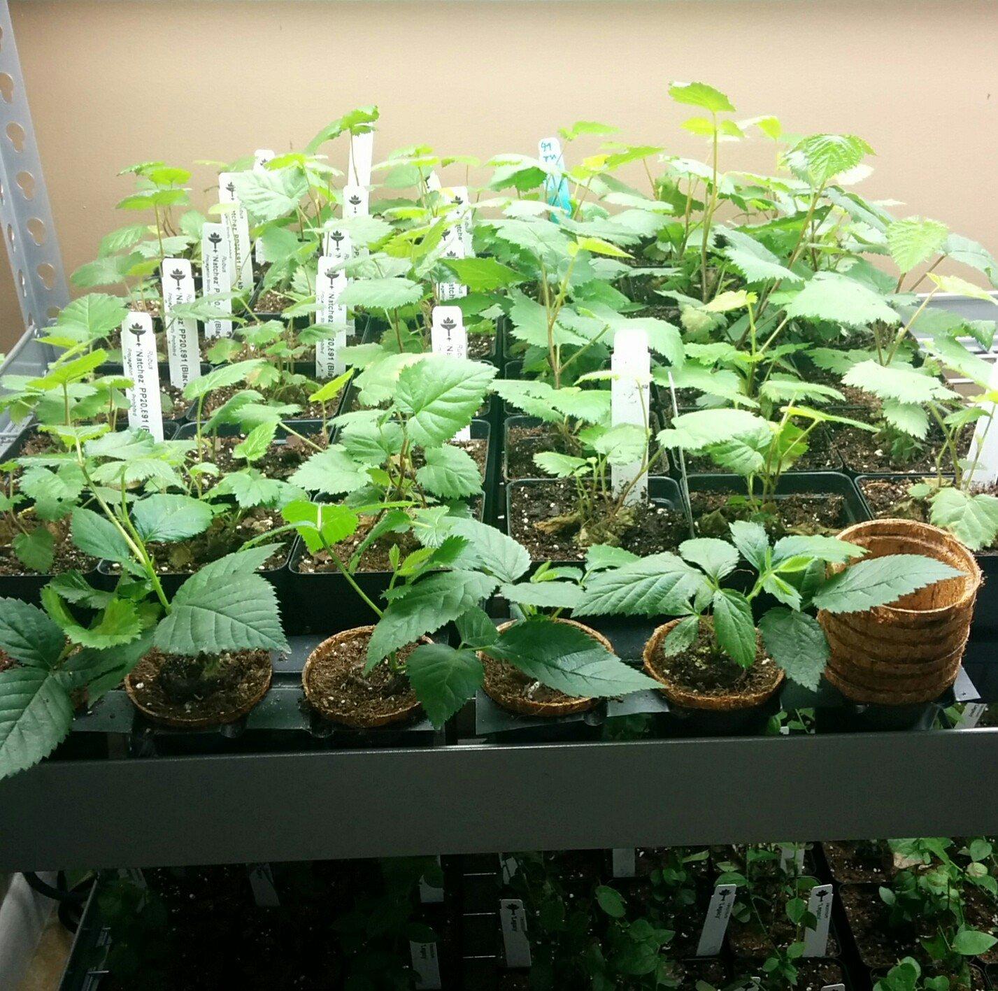 Blackberry Plants ''Natchez'' Price Includes Four (4) Plants