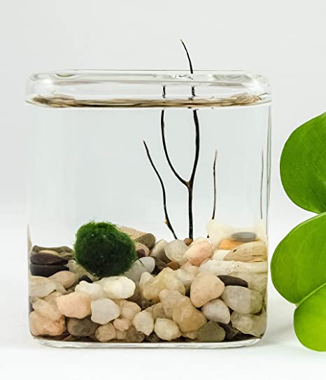 Marimo Moss Ball Small Cube Terrarium Amazon Co Uk Kitchen Home