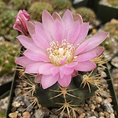 Gymnocalycium neuhuberi Cactus Cacti Succulent Real Live Plant : Garden & Outdoor
