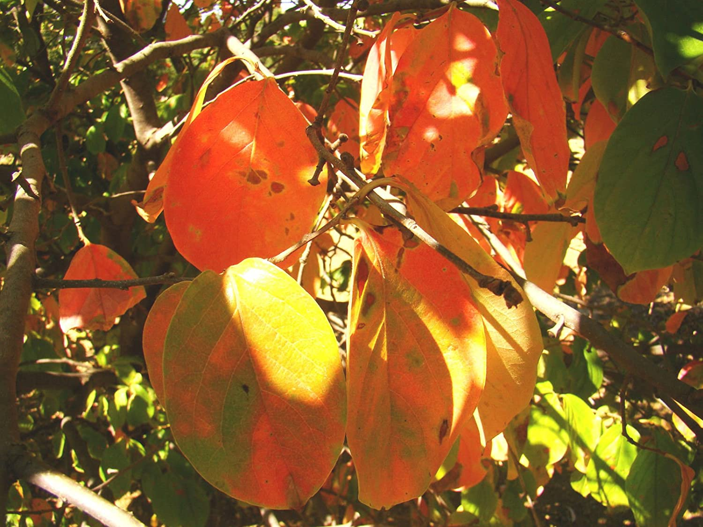 Sharon Fruit 10cm Tall Seedling Plant Diospyros kaki Japanese Persimmon Edible Cinnamon Coloured Flesh Fruit