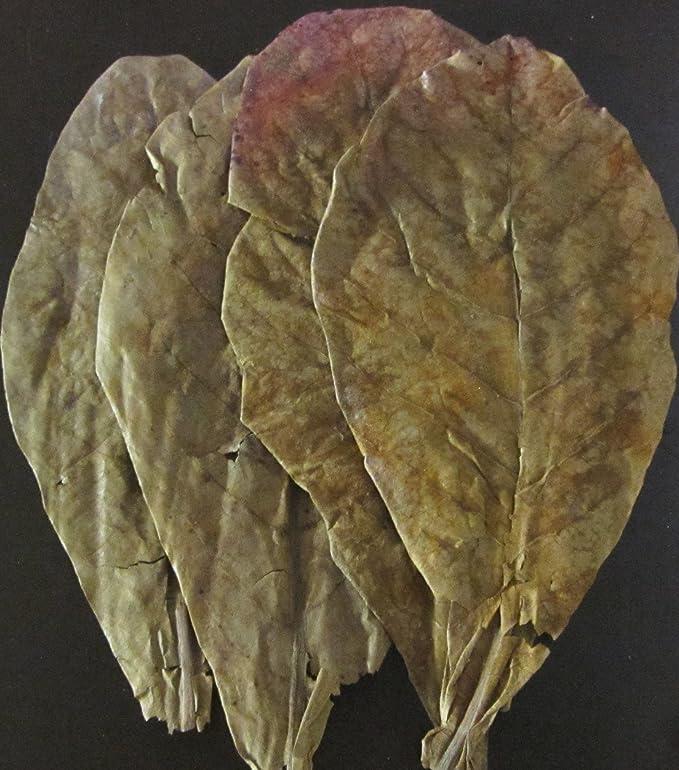 3 x Seemandelbaumblätter (10-20cm) Seemandellaub Catappa Leaves Testpackung original A-Markenware von SMJS-Cambodia +++BLITZV