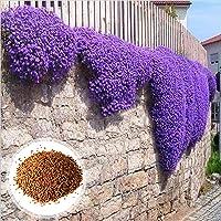 C-LARSS 1 Bolsa De Semillas De Berro Púrpura, Resistentes Al Frío, Fáciles De Plantar, Llamativas Semillas De Hierbas…