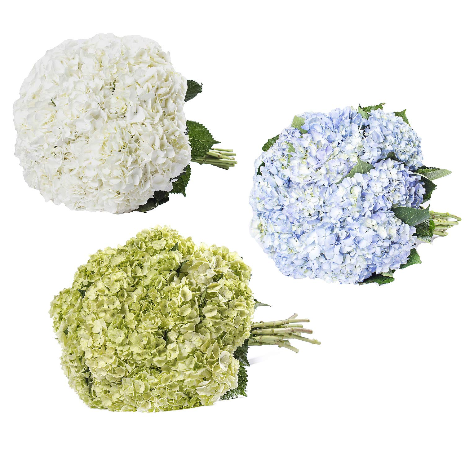 Farm Fresh Natural Assorted hydrangeas Combo - Pack 30 by Bloomingmore (Image #2)