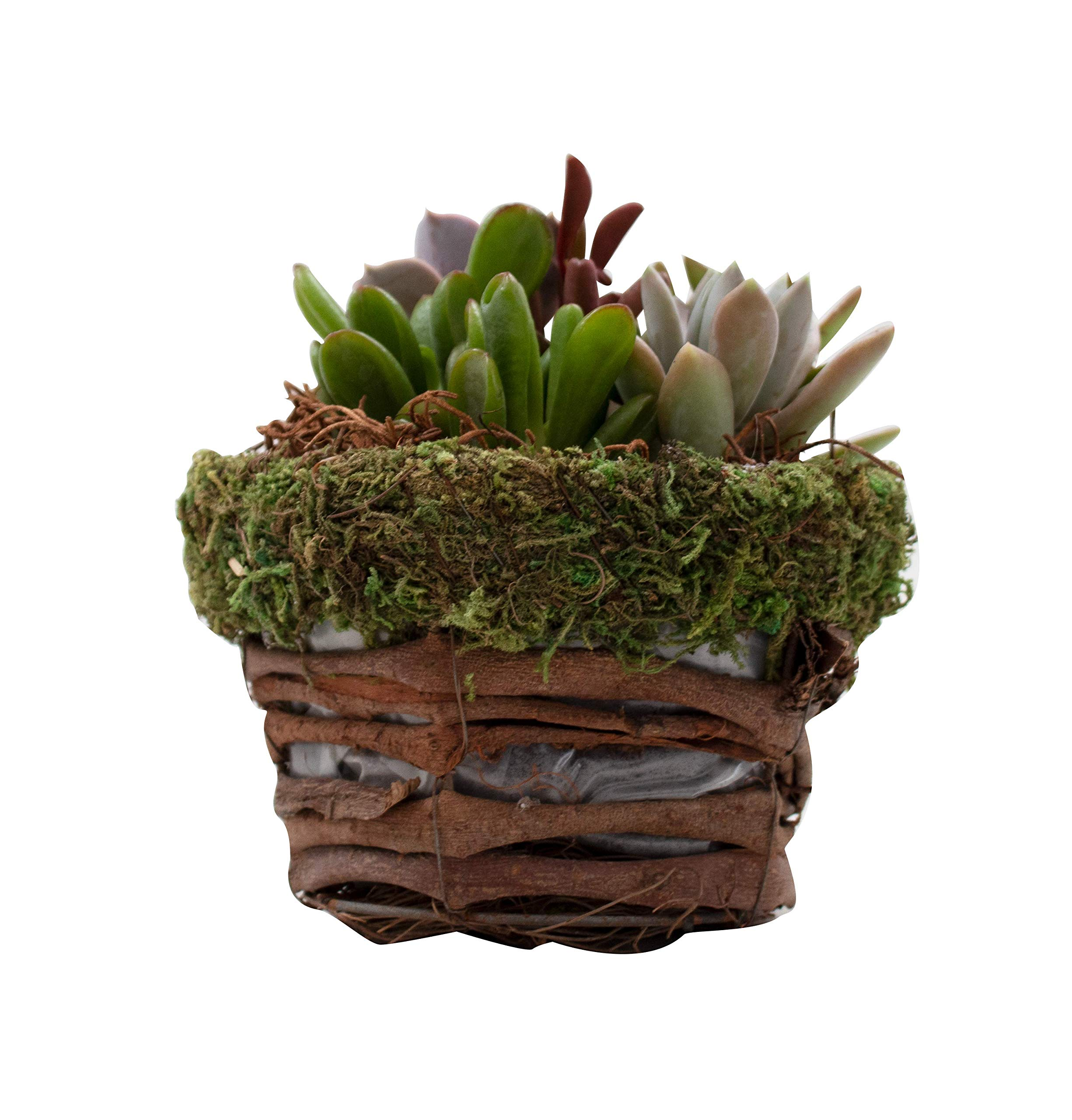 Hallmark Flowers Succulent Garden In 10-Inch Moss and Twig Container by Hallmark Flowers