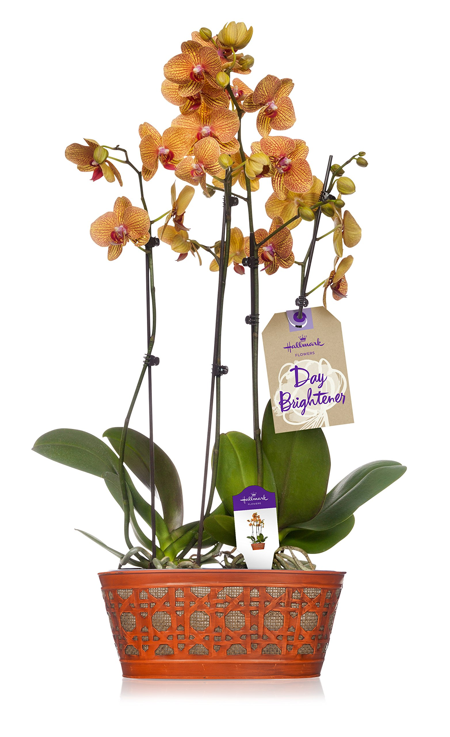 Mother's Day Hallmark Flowers Orchid Flower Plant, Salmon Double Spike in 10-Inch Orange Tin Container