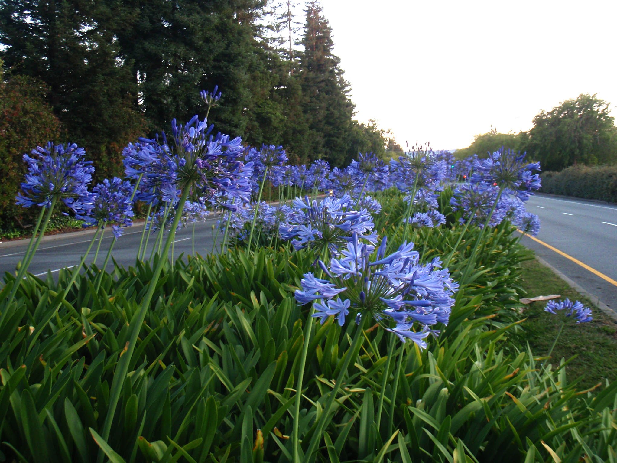 Agapanthus Lily of the Nile Qty 60 Live Plants Groundcover by Florida Foliage (Image #2)
