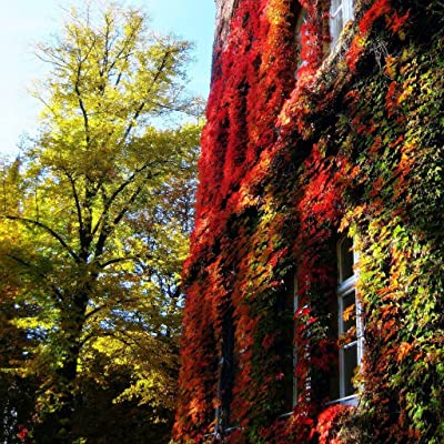 20 + Boston Ivy Common Climbing the Wall Rocks Vine Plant Seeds : Garden & Outdoor