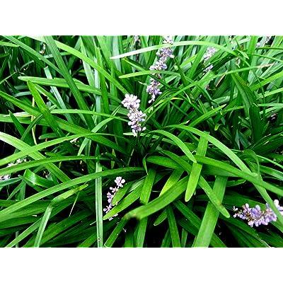 50 Monkey Grass Plants, Liriope, Bare Root Plants, Evergreen Border Plants : Garden & Outdoor