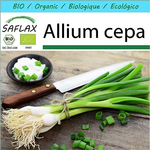 SAFLAX - Set regalo - Ecológico - Cebolla de primavera - Cebolla ...