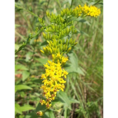 Golden Rod - Solidago Canadensis - 100 Seeds (Organically Grown) : Garden & Outdoor