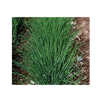 David's Garden Seeds Herb Chives Staro SL8814 (Purple) 500 Non-GMO, Open Pollinated Seeds : Garden & Outdoor