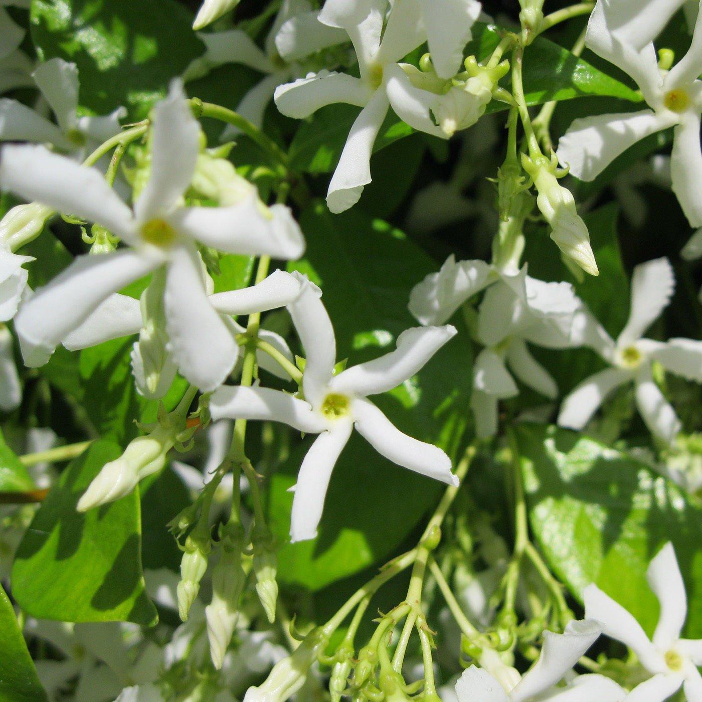 Star Jasmine Vine Plant - Trachelospermum Jasminoides - Highly Fragrant