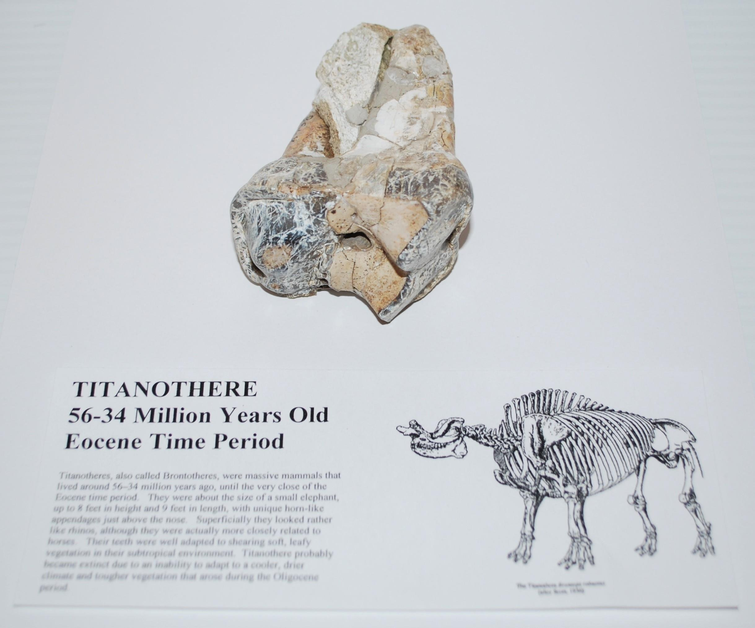 Titanothere Brontothere Tooth Fossil 50 Million Year Old #3156