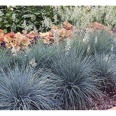 AchmadAnam - Live Plants Deer Resistant 10 Festuca glauca 'Elijah Blue' aka Sheep's Fescue - : Garden & Outdoor