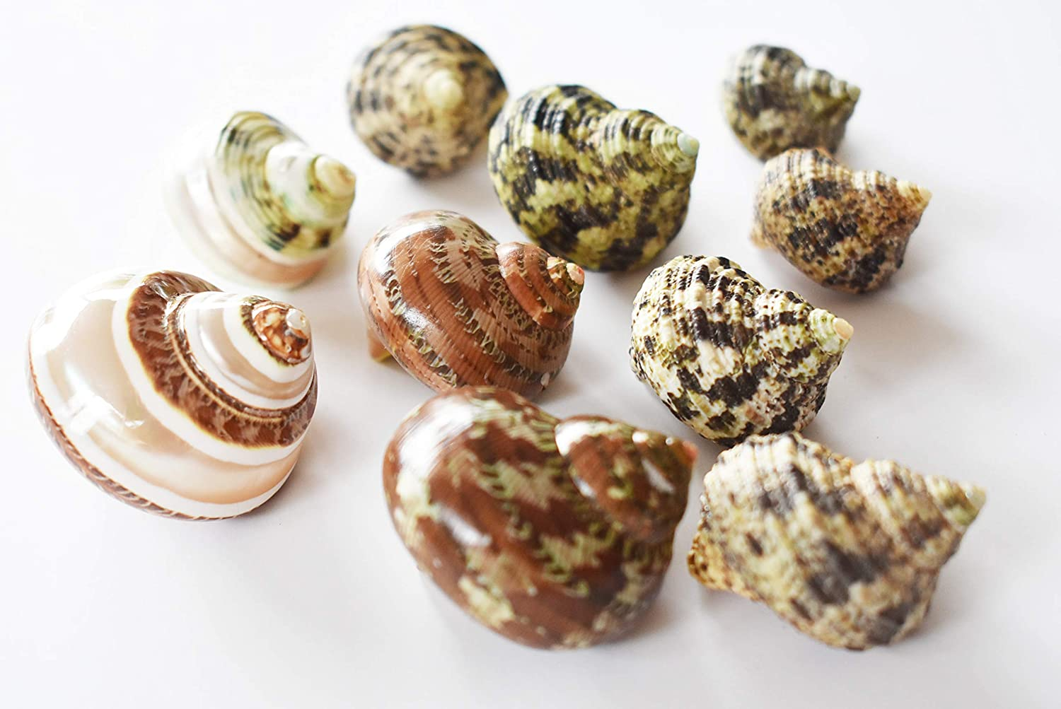 FSG - Select 10 Hermit Crab Shells Deluxe Turbo Changing Seashells Medium 1-2 Size (Opening Size 5/8 - 1) Beautiful Florida Shells and Gifts