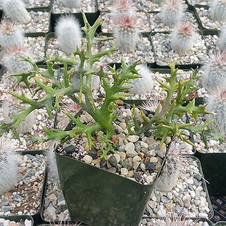 Amazon Com Euphorbia Stenoclada Cactus Cacti Succulent Real Live