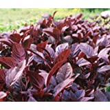 Organic Red Amaranth (Burgandy) Seeds - 2 SEED PACKETS! - Over 1000 Open Pollinated Non-GMO USDA Organic Seeds