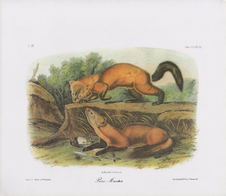 "1989 Vintage /""GREY FOX/"" WOW GORGEOUS AUDUBON MAMMAL COLOR Art Plate Lithograph"