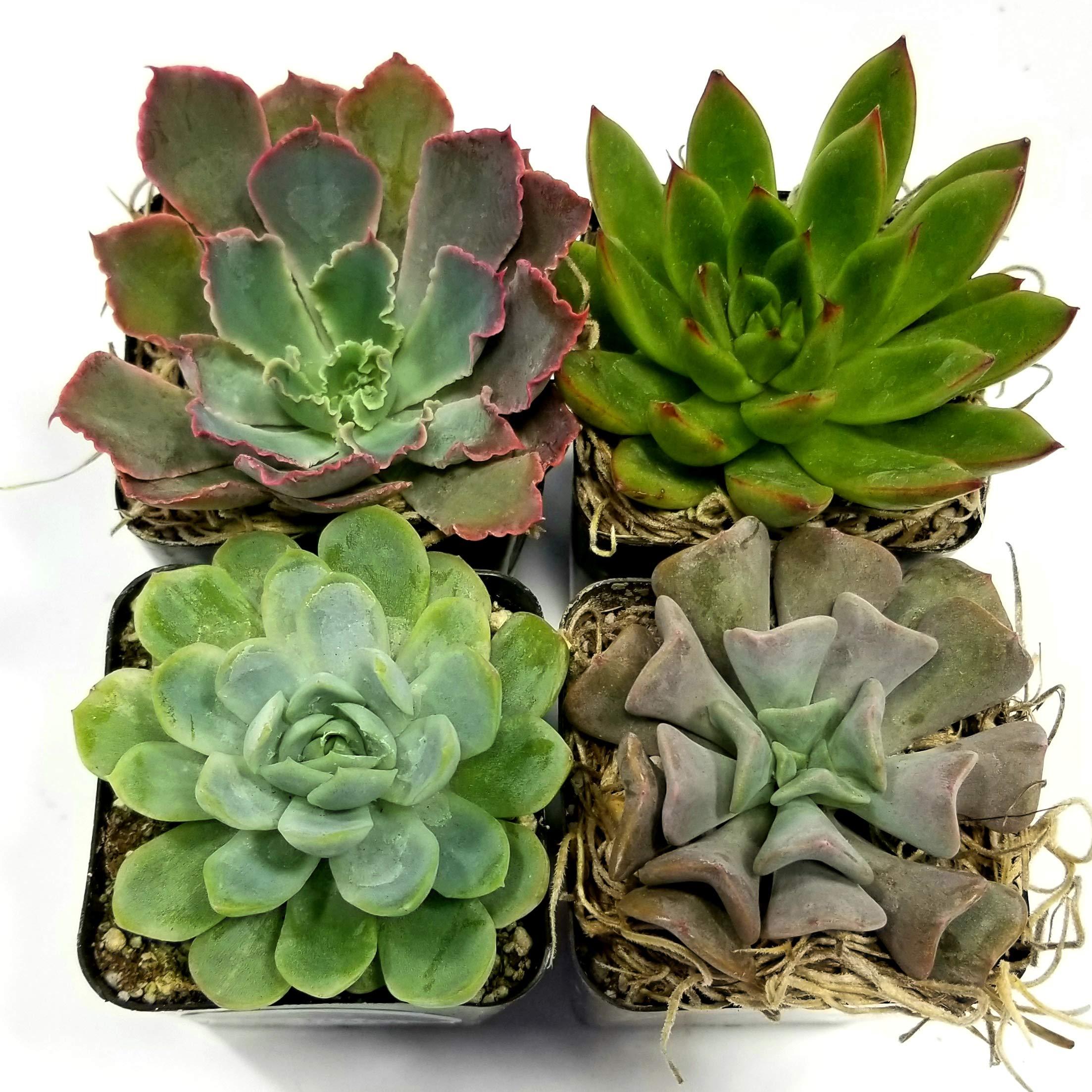 Fat Plants San Diego 2.5 Inch Wedding Rosette Succulent Plants (4) by Fat Plants San Diego (Image #1)