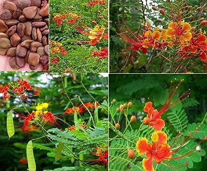 Amazon.com : 15x Vanessa Goldilocks seed Yang Jinfeng tree garden ...