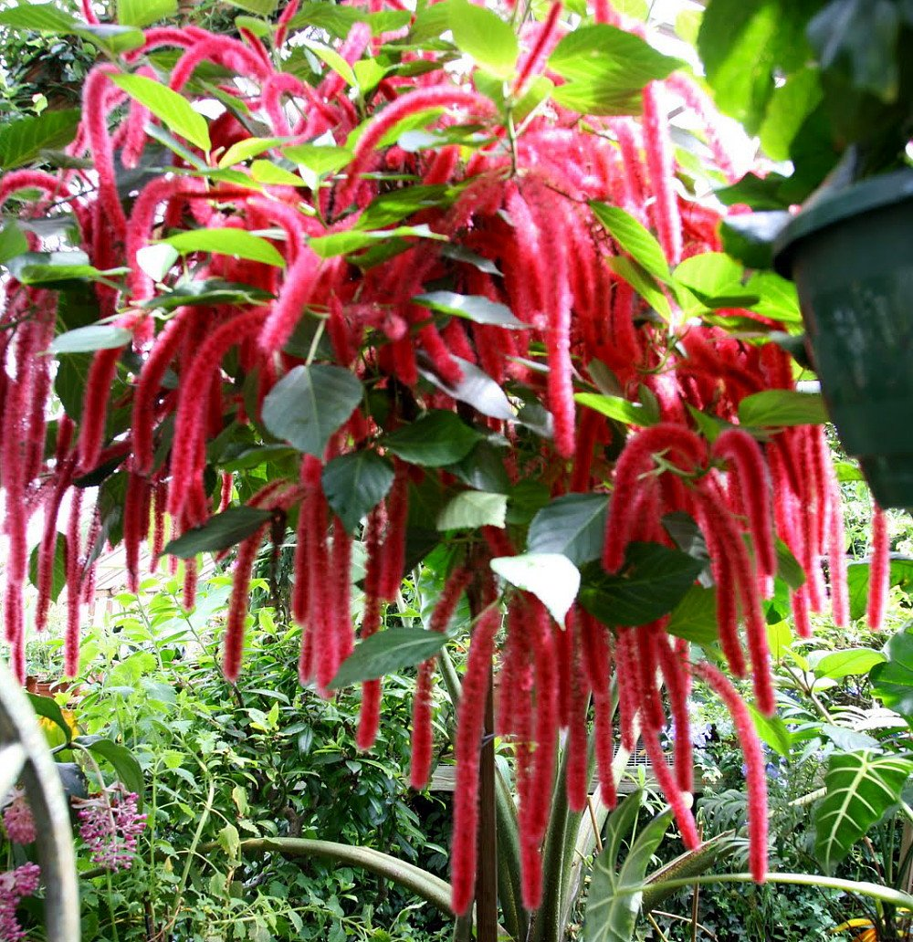 Picture of LIVE Chenille Firetail, Red Hot Cattail aka Acalypha hispida Plant Fit 1 QRT Pot