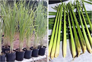 """Lemongrass 12 Live Plants 7"""" Tall Fully Rooted Plant Fever Grass Citratus"""