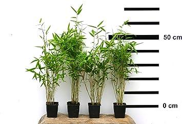 12 X Bambus Fargesia Jumbo Winterhart Und Schnell Wachsend 40 50 Cm